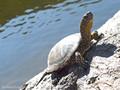 Europäische Sumpfschildkröte (Emys orbicularis lanzai) - FR (Korsika, Balagne)