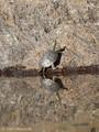 Europäische Sumpfschildkröte (Emys orbicularis lanzai), Jungtier - FR (Korsika, Balagne)