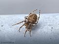 Brückenkreuzspinne (Larinioides sclopetarius) - DE (SH)