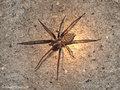 Große Winkelspinne (Eratigena atrica ), Weibchen - CH (Obwalden)