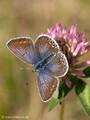 Hauhechel-Bläuling (Polyommatus icarus), Weibchen - DE (MV)