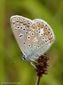 Hauhechel-Bläuling (Polyommatus icarus) - DE (HH)