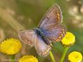 Hauhechel-Bläuling (Polyommatus icarus), Weibchen - DE (SH)