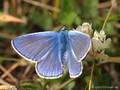 Hauhechel-Bläuling (Polyommatus icarus), Männchen - DE (SH)