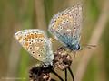 Hauhechel-Bläuling (Polyommatus icarus), Kopula - DE (MV)