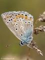 Hauhechel-Bläuling (Polyommatus icarus), Männchen - DE (MV)