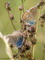 Hauhechel-Bläuling (Polyommatus icarus), Balz - DE (MV)