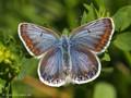 Hauhechel-Bläuling (Polyommatus icarus), Weibchen - DE (HH)