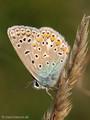 Hauhechel-Bläuling (Polyommatus icarus) - DE (MV)