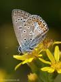 Hauhechel-Bläuling (Polyommatus icarus), Männchen - FR (Korsika, Balagne)