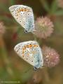 Hauhechel-Bläuling (Polyommatus icarus), zwei Männchen - DE (SH)
