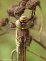 Früher Schilfjäger (Brachytron pratense), junges Weibchen - DE (MV)