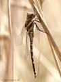 Herbst-Mosaikjungfer (Aeshna mixta), junges Männchen - DE (SH)