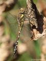 Herbst-Mosaikjungfer (Aeshna mixta), Weibchen - DE (SH)
