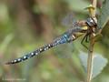 Herbst-Mosaikjungfer (Aeshna mixta), Männchen - DE (HH)