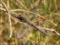 Herbst-Mosaikjungfer (Aeshna mixta), Weibchen - DE (MV)