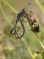 Schwarze Heidelibelle (Sympetrum danae), Paarungsrad - DE (SH)