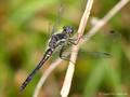 Schwarze Heidelibelle (Sympetrum danae), noch nicht vollständig ausgefärbtes Männchen - DE (HH)
