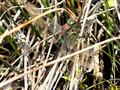 Kleine Königslibelle (Anax parthenope), Männchen - FR (Korsika, Balagne)