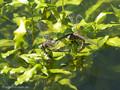 Kleine Königslibelle (Anax parthenope), Weibchen und Männchen bei der Eiablage - FR (Korsika, Balagne)