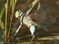 Kleine Königslibelle (Anax parthenope), Weibchen bei der Eiablage - FR (Korsika, Balagne)