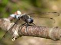 Spitzenfleck (Libellula fulva), Männchen - DE (MV)