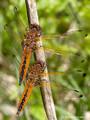 Spitzenfleck (Libellula fulva), Weibchen (unten) und unausgefärbtes Männchen (oben) - DE (MV)