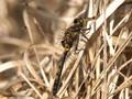 Nordische Moosjungfer (Leucorrhinia rubicunda), unausgefärbtes Männchen - DE (HH)