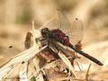 Nordische Moosjungfer (Leucorrhinia rubicunda), Männchen - DE (HH)