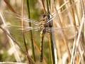 Nordische Moosjungfer (Leucorrhinia rubicunda), Weibchen kurz nach dem Schlupf - DE (HH)