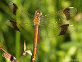 Gebänderte Heidelibelle (Sympetrum pedemontanum), Weibchen - DE (HH)