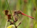 Gebänderte Heidelibelle (Sympetrum pedemontanum), Männchen - DE (HH)