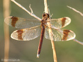 Gebänderte Heidelibelle (Sympetrum pedemontanum), Weibchen - DE (NI)