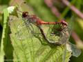 Blutrote Heidelibelle (Sympetrum sanguineum), Paarungsrad - DE (MV)