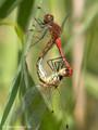 Blutrote Heidelibelle (Sympetrum sanguineum), Paarungsrad - DE (SH)