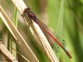 Frühe Adonislibelle (Pyrrhosoma nymphula), Männchen - DE (HH)