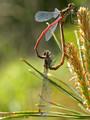 Frühe Adonislibelle (Pyrrhosoma nymphula), Paarungsrad - DE (MV)