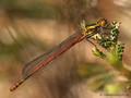 Frühe Adonislibelle (Pyrrhosoma nymphula), unausgefärbtes Männchen - DE (HH)
