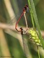 Frühe Adonislibelle (Pyrrhosoma nymphula), Paarungsrad - DE (SH)