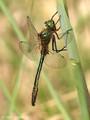 Falkenlibelle (Cordulia aenea), Männchen - DE (MV)