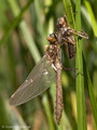 Falkenlibelle (Cordulia aenea), Männchen kurz nach dem Schlupf - DE (HH)