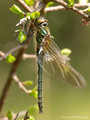 Falkenlibelle (Cordulia aenea), junges Weibchen - DE (MV)
