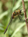 Falkenlibelle (Cordulia aenea), Männchen - DE (HH)