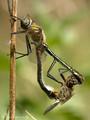 Falkenlibelle (Cordulia aenea), Paarungsrad - DE (HH)