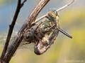 Falkenlibelle (Cordulia aenea) als Beute der Kreuzspinne (Araneus spec.) - DE (MV)