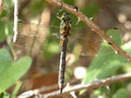 Gefleckte Smaragdlibelle (Somatochlora flavomaculata), Weibchen - FR (Korsika, Balagne)