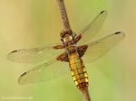Plattbauch (Libellula depressa), Weibchen - DE (MV)