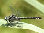 Gemeine Keiljungfer (Gomphus vulgatissimus), Männchen - DE (SH)