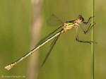 Gemeine Binsenjungfer (Lestes sponsa), Weibchen - DE (MV)