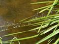 Blaue Federlibelle (Platycnemis pennipes), Tandems bei der Eiablage - DE (NRW)